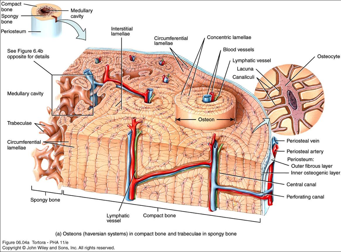 Groß Löcher Anatomie Und Physiologie 11. Auflage Online Fotos ...