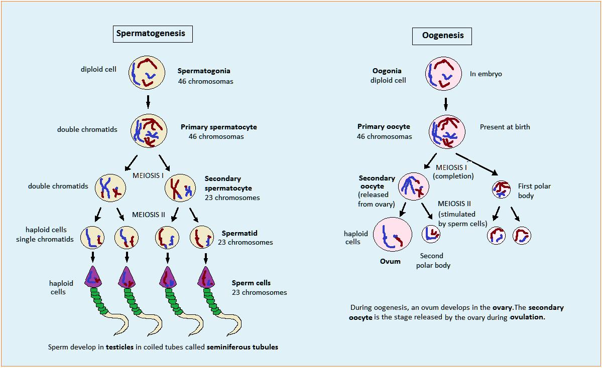 Rangkuman teori sistem reproduksi studygraph digital learning spermatogenesis dan oogenesis pada manusia sistem reproduksi proses pembentukan sperma ovum ccuart Image collections